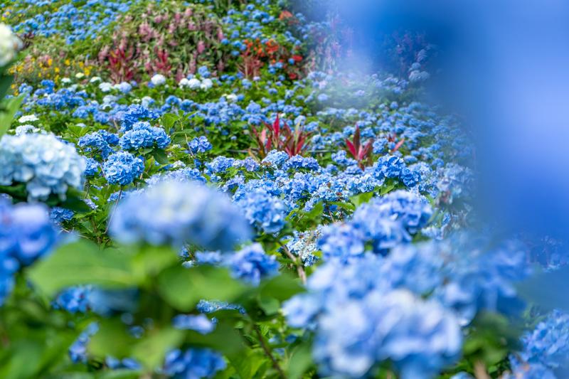 よへなあじさい園の青いあじさい