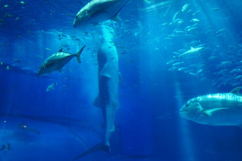 ジンベエザメが立ち泳ぎ