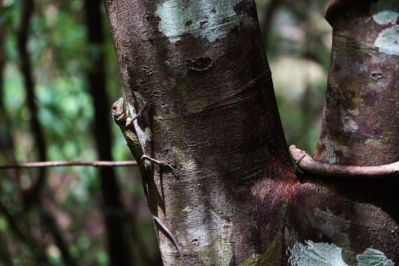 木で休むキノボリトカゲ