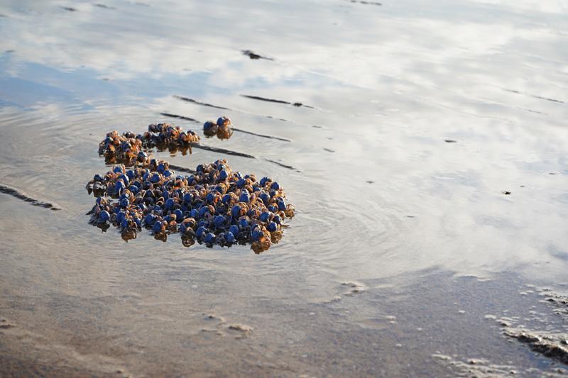 潟原干潟にいるミナミコメツキガニの大群