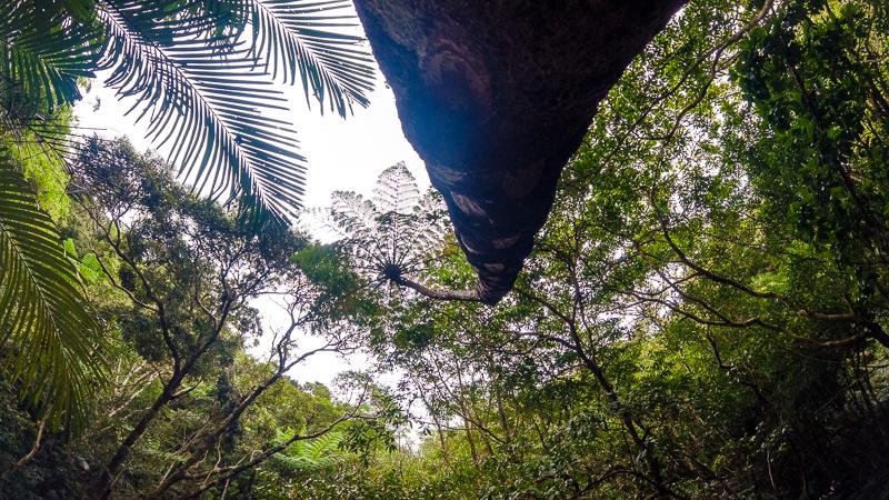 やんばるの森にあるヘゴの木