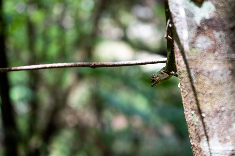 比地大滝で見つけたキノボリトカゲ