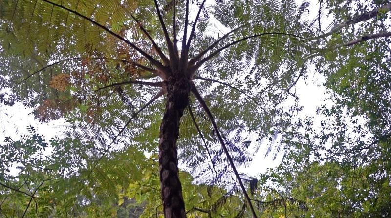 比地大滝で見つけたヘゴの木