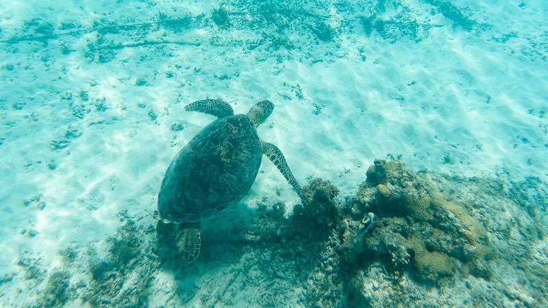 渡嘉志久ビーチで見つけたウミガメ