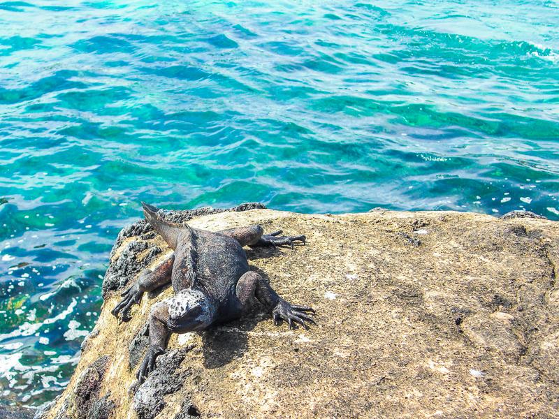 ガラパゴス諸島のウミイグアナ